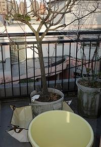 ベランダの杏を植え替えた - 天浪堂日乗