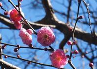 お目当ての桜は・・・ - ソナチネアルバム
