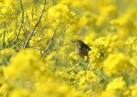 菜の花の丘→西海岸→S園 - 写真で綴る野鳥ごよみ