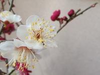 梅の春… - 侘助つれづれ
