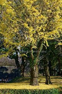 熊本城の銀杏 - Mark.M.Watanabeの熊本撮影紀行