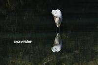 ダイサギくんもやってきた - ジージーライダーの自然彩彩