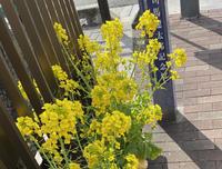 菜の花 - 花咲く俳句日誌