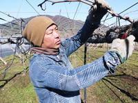 熊本ぶどう社方園剪定作業2021昨年実らせた結果枝を剪定し新たな結果枝を芽吹かせます - FLCパートナーズストア