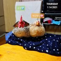 ラブラブ - 烏骨鶏かわいいブログ