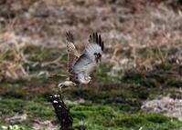 ノスリの飛び出しを撮る - 私の鳥撮り散歩