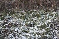 21年冬の自然(15)…もう咲いてる(3) - ふぉっしるもしてみむとてするなり