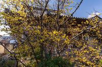 大蓮寺の蝋梅 - 花景色-K.W.C. PhotoBlog