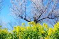 菜の花 - jumhina biyori*