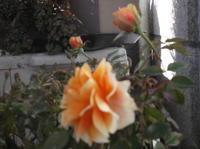 憲法便り#4420:【花のある風景】;わが家のベランダにある黄色いバラ!妻が喜寿の祝いとしてプレセントされた「セントラルローズ」!最初は赤いバラだったが、再び咲いた今回は、この色に! - 岩田行雄の憲法便り・日刊憲法新聞