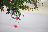 春へ誘う山茶花 - 写真の記憶