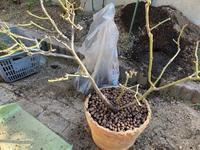 薔薇の寒肥と土替えをやってみたよ② - へい まささん の ひとりごと