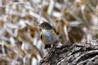 ルリビタキ - そらと林と鳥