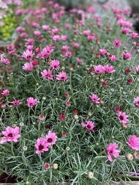 花苗入荷情報【'210212】 - 花と暮らす店 木花 Mocca