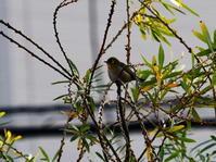 カワセミ広場にて2/13 - 青い鳥を探して