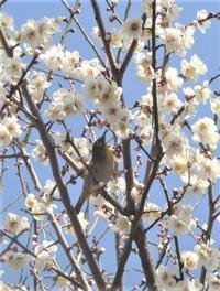 桜は五部咲き - hibariの巣