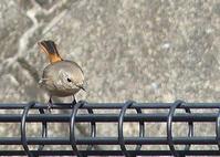 小鳥さんぽ_ジョウビタキ - 続ねこのひと~むらよしみのぶろぐ