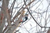 夢中で木突つくオオアカゲラに、3Mまで近寄れました2021/02/13 - 今朝の一枚 石狩川の朝