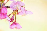 ぽかぽか陽気で桜のfirst shotをお届け - スポック艦長のPhoto Diary
