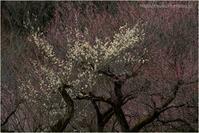 早咲きの白梅 - muku3のフォトスケッチ