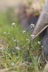 春の野の花 - ecocoro日和
