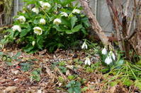 スノードロップとチューリップ - mille fleur の花とおやつ