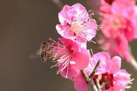 ミツバチも喜ぶ紅梅と菜の花 - 子猫の迷い道Ⅱ