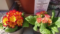 プリムラとミスタードーナツ - Ree's Blog