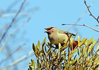 ヒレンジャク、宿木の実に集います - THE LIFE OF BIRDS ー 野鳥つれづれ記