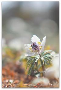 セツブンソウの咲く頃 - 陽だまりcafe