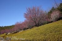 紅梅の並木道 - 風の彩りー3