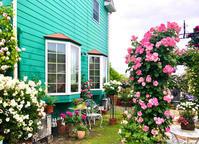ブッシュの冬剪定♡STシスターエリザベス、STアイスバーグと、またレッドロック敷き♫ - 薪割りマコのバラの庭