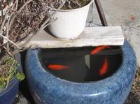 憲法便り#4445:水ぬるむ;寒い時は、大きな金魚鉢になった火鉢の下の方にいた金魚たちが、今日は活発に泳いでいました! - 岩田行雄の憲法便り・日刊憲法新聞