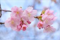 河津桜咲きました - りゅう太のあしあと