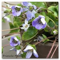 今年もまた春の妖精に合いに - 雪割草 - Primula modesta -