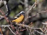 梅林でジョウビタキを見つけた - コーヒー党の野鳥と自然パート3