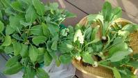 コカブ収穫 - ウィズ(ゼロ)コロナのうちの庭の備忘録~Green's Garden~