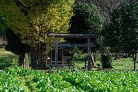 大津町の銀杏神社 - Mark.M.Watanabeの熊本撮影紀行