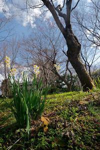 早春の花巡り水仙@真如堂 - デジタルな鍛冶屋の写真歩記