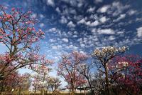 早春の花巡り梅@梅小路公園 - デジタルな鍛冶屋の写真歩記