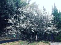 白梅 - 自然を見つめて自分と向き合う心の花