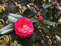 椿、咲きました^^ - 自然を見つめて自分と向き合う心の花