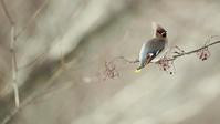 キレンジャク - 北の野鳥たち