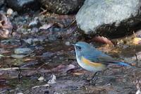 水辺のルリビタキ - 上州自然散策3