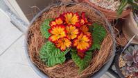 プリムラの鉢植え - Ree's Blog