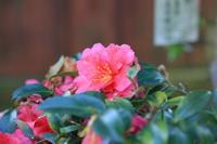山茶花を撮ってみたくて。 - 平凡な日々の中で