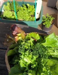 ウンチだらけの白菜やキャベツの収穫 - 島暮らしのケセラセラ