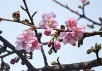 河津桜 - 大山山麓、山、滝、鉄道風景