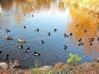 ある風景:Kikuna pond, Yokohama@Dec~Jan #2 - MusicArena