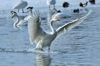 みちのく白鳥たち24 - みちのくの大自然